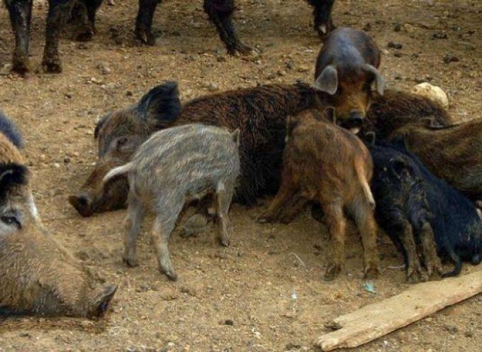 Μέτρα για την αντιμετώπιση των αγριόχοιρων προχωρά το Υπουργείο Περιβάλλοντος