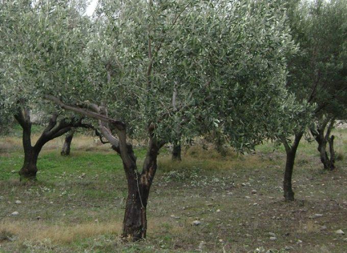 Παρέμβαση Γιάννη Μπουντρούκα για το πρόβλημα του δάκου στις ελαιοκαλλιέργειες