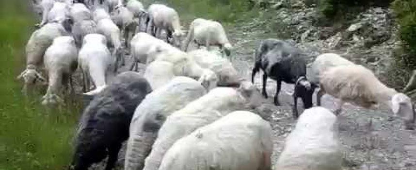 Περιφέρεια Πελοποννήσου | Τί θα γίνει με τις απογραφές αιγοπροβάτων