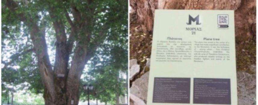 Σήμανση υπεραιωνόβιου πλάτανου στα Μαγούλιανα από την Costa Navarino